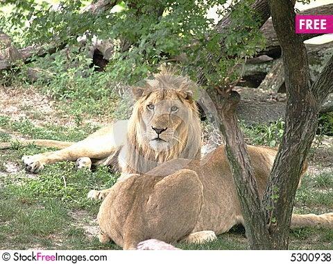 Free Lion Couple Royalty Free Stock Photos - 5300938