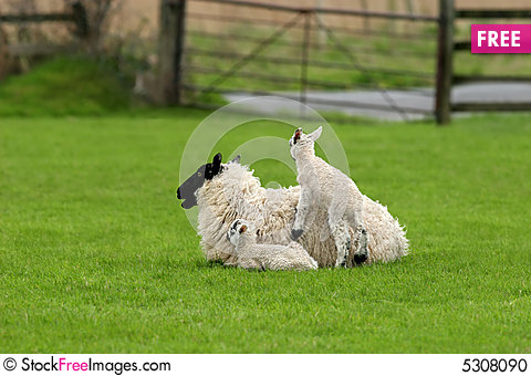 Free Spring Lambs Stock Photo - 5308090
