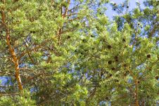 Free Сone On A Pine Royalty Free Stock Photo - 5300175