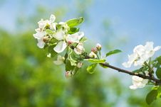 Free Blossoming Branch Royalty Free Stock Photos - 5300238
