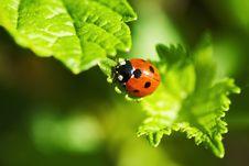 Ladybug On The Leaf Stock Images