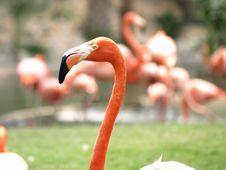 Free Flamingo Head Stock Photo - 5300890