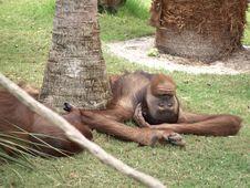 Free Orangutan Eyes Open Stock Images - 5300894