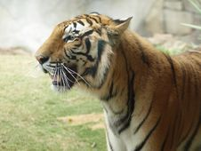 Free Tiger Close Up Facing Left Royalty Free Stock Photo - 5300905