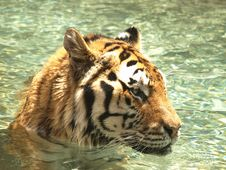 Free Tiger In The Water Close Up Royalty Free Stock Images - 5300909