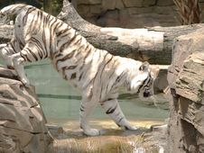 Free White Tiger Crossing Stream Royalty Free Stock Photos - 5300928