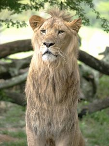 Free Young Male Lion Vertical Stock Images - 5300944