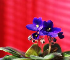 Free Violet On Red Stock Photography - 5300992