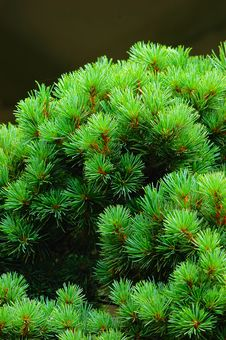 Free The Pine Of Miniascape Royalty Free Stock Image - 5301346