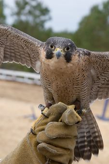Free Falcon And Handler Royalty Free Stock Image - 5301536