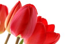 Free Bouquet Of Red Tulips Royalty Free Stock Photos - 5302488