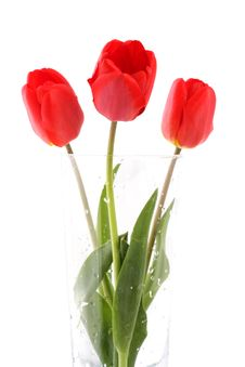 Free Bouquet Of Red Tulips Royalty Free Stock Images - 5302499