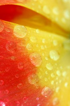 Free Red Tulip With Drops Macro Stock Photo - 5302570