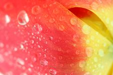 Free Red Tulip With Dew Drops Stock Photos - 5302593