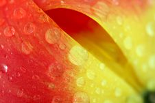 Free Red Tulip With Dew Drops Stock Photo - 5302610