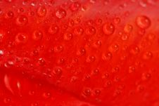 Free Red Tulip With Dew Drops Stock Photography - 5302612