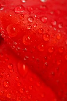 Free Red Tulip With Dew Drops Royalty Free Stock Photo - 5302615