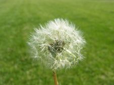 Dandelion Seeds Green Grass Field Background Royalty Free Stock Image