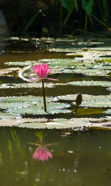 Free Pink Water Lily Royalty Free Stock Photography - 5302957