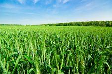 Free Wheat Field Stock Photos - 5302993