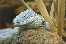 Free Iguana Stock Photo - 5303400
