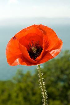 Free Poppy Flower Royalty Free Stock Photos - 5303558