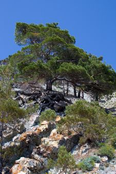 Free Relic Pine Royalty Free Stock Photos - 5303568