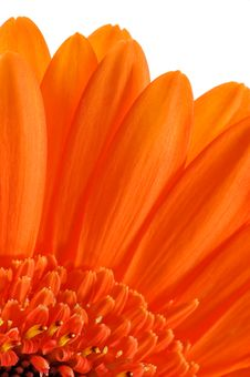 Macro Of Orange Gerbera Stock Images