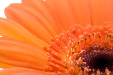 Macro Of Orange Gerbera Stock Image