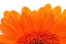 Macro Of Orange Gerbera Royalty Free Stock Images