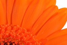 Free Orange Gerbera Flower Macro Stock Photos - 5303663