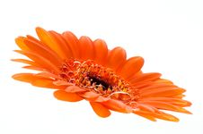 Macro Of Orange Gerbera Stock Photos