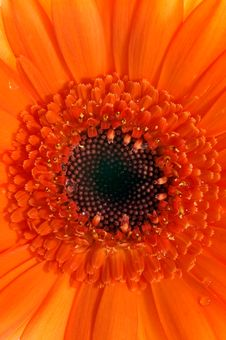 Macro Of Orange Gerbera Royalty Free Stock Photography