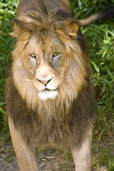 Free Lion Royalty Free Stock Photo - 5304105