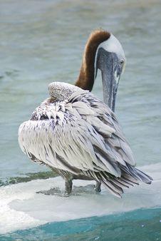 Free Pelican Royalty Free Stock Photos - 5304158