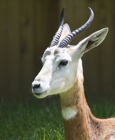 Free Gazelle Stock Photo - 5304180
