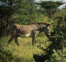 Free Zebra Walking Through The Trees Stock Images - 5304194