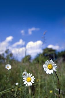 Free Two Daisy On The Meadow Royalty Free Stock Images - 5304219