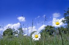 Free Two Daisy On The Meadow Royalty Free Stock Photos - 5304228