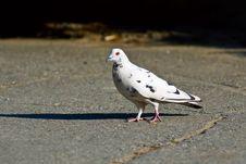 Free Walking Pigeon Stock Photo - 5304370