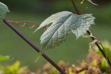 Free Wild Grapevine Leaf Stock Image - 5304461