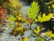 Free Branch Of Rocky Oak By Autumn. Royalty Free Stock Photography - 5304587