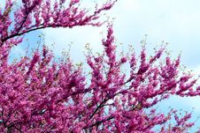 Free Purple Flowers In A Tree Stock Photography - 5304772