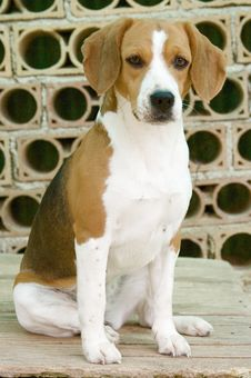 Free Sweet Beagle Stock Images - 5304784