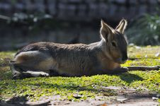 Free Patagonian Hare Stock Images - 5305074