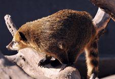 Free Wild Coatis Royalty Free Stock Photo - 5305085