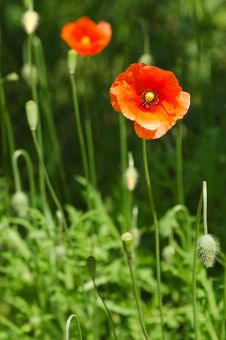 Free Poppy Meadow Stock Photo - 5305090