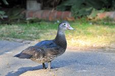 Free Duck Royalty Free Stock Photo - 5305165