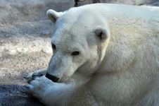 Wild Polar Bear Stock Images