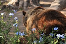 Free Big Brown Bear Royalty Free Stock Image - 5305286